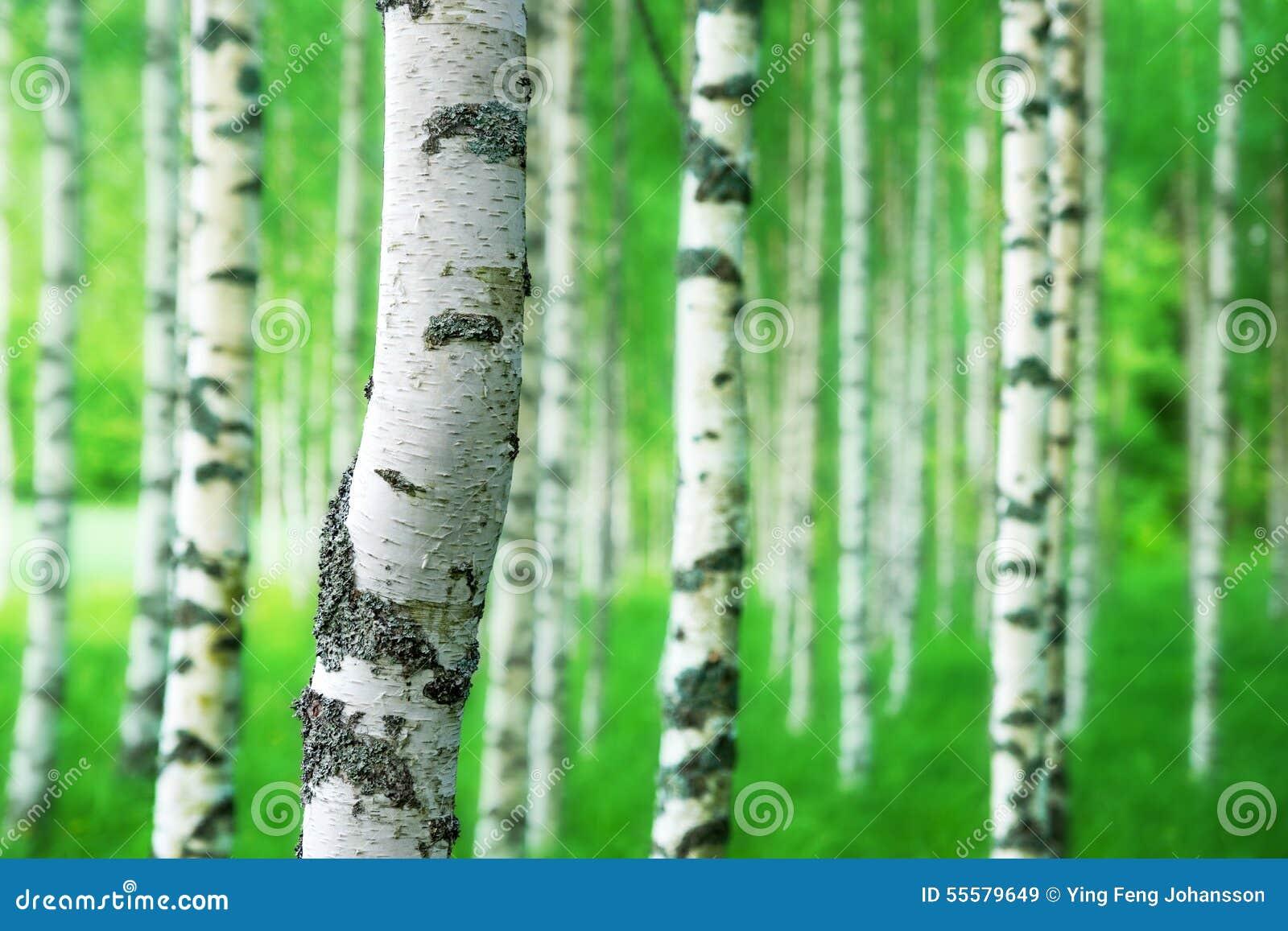 tronc d'arbre de bouleau image stock. image du trunk - 55579649