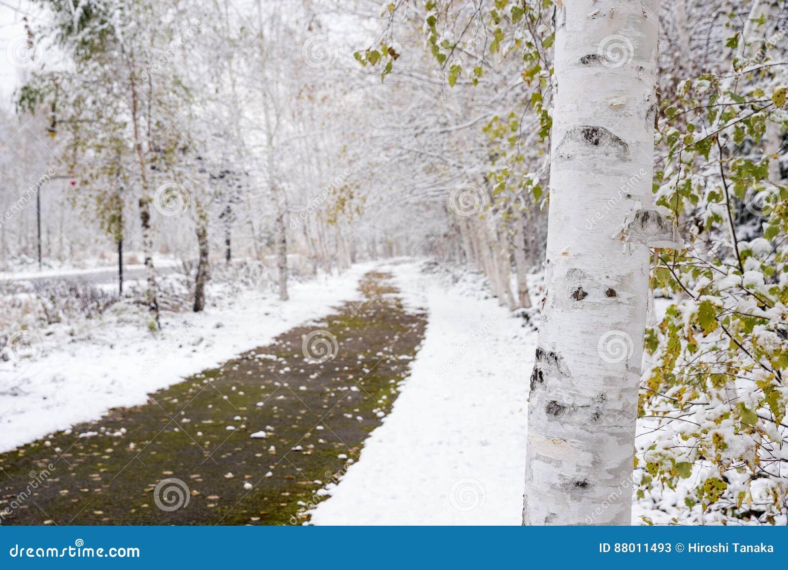 tronc d 39 arbre de bouleau blanc image stock image du. Black Bedroom Furniture Sets. Home Design Ideas