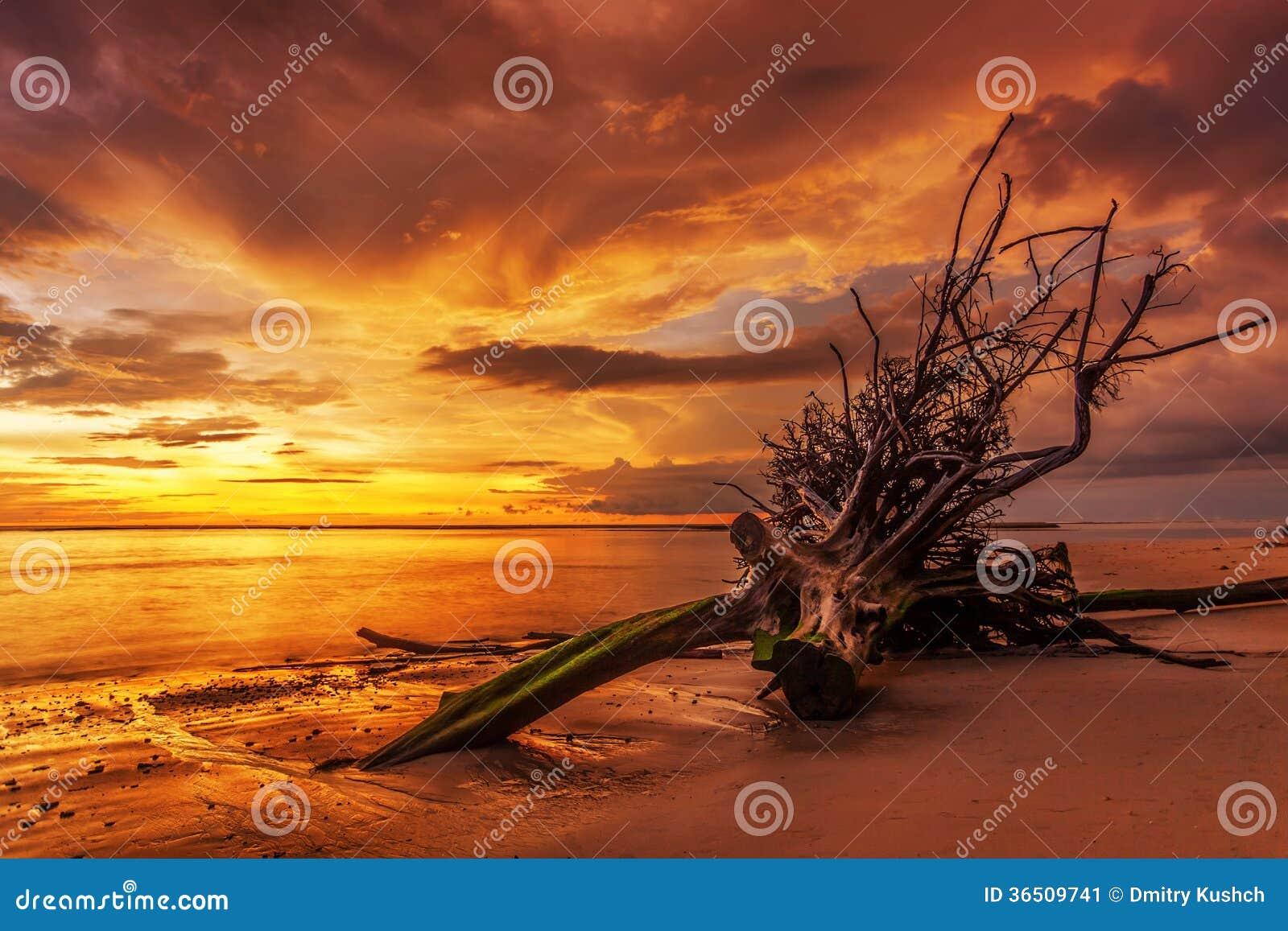 Tronc d arbre mort sur la plage tropicale