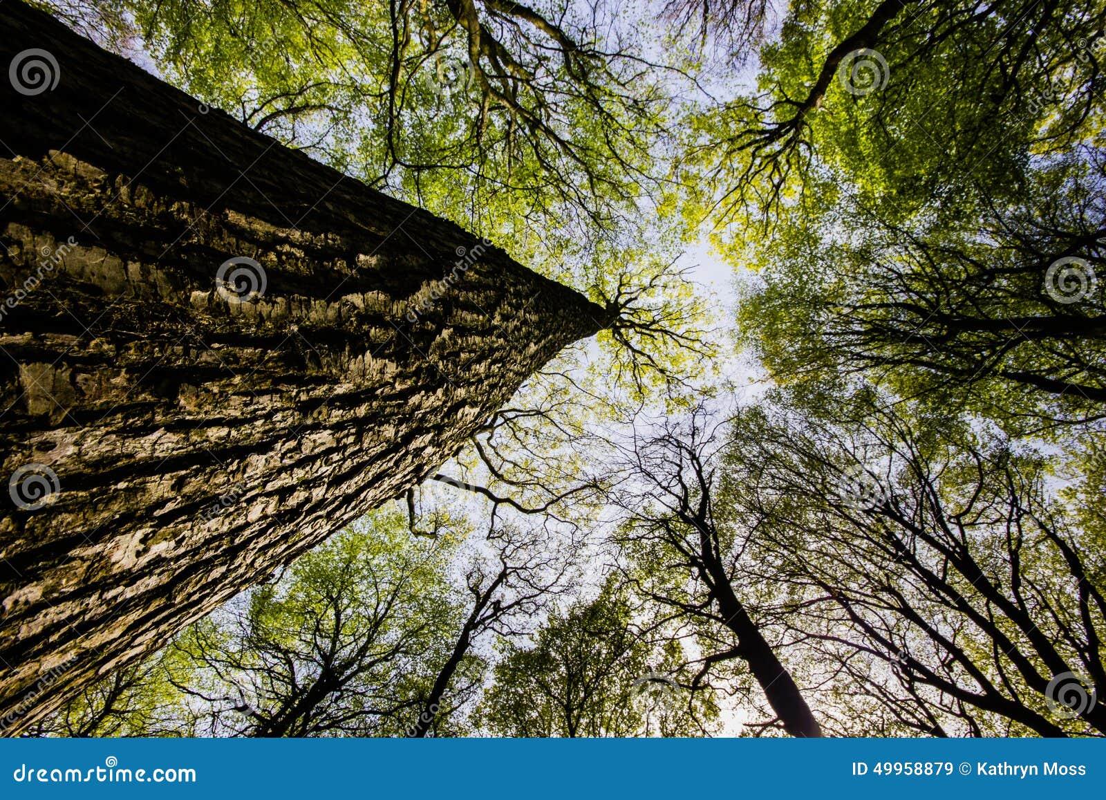 tronc d arbre regardant vers le ciel - Arbre Ciel