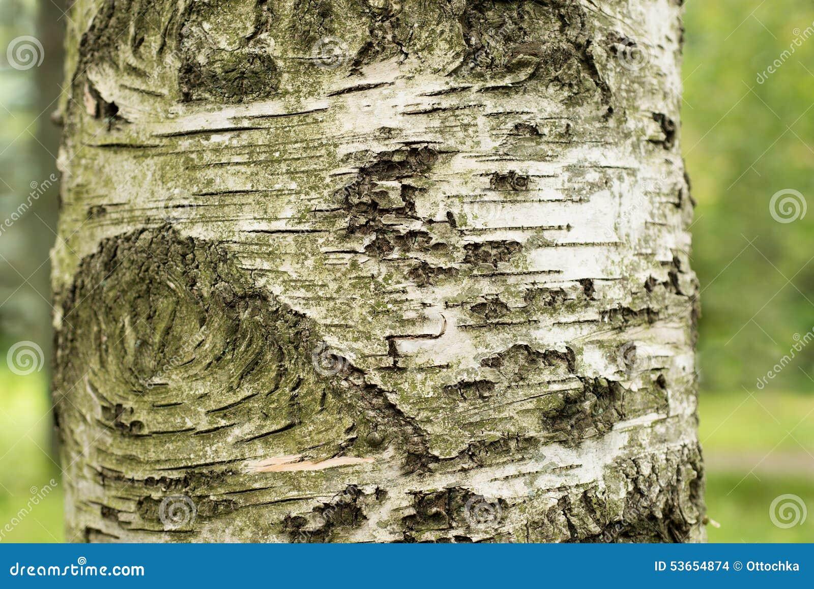 Tronc d 39 un arbre de bouleau photo stock image 53654874 - Tronc de bouleau ...