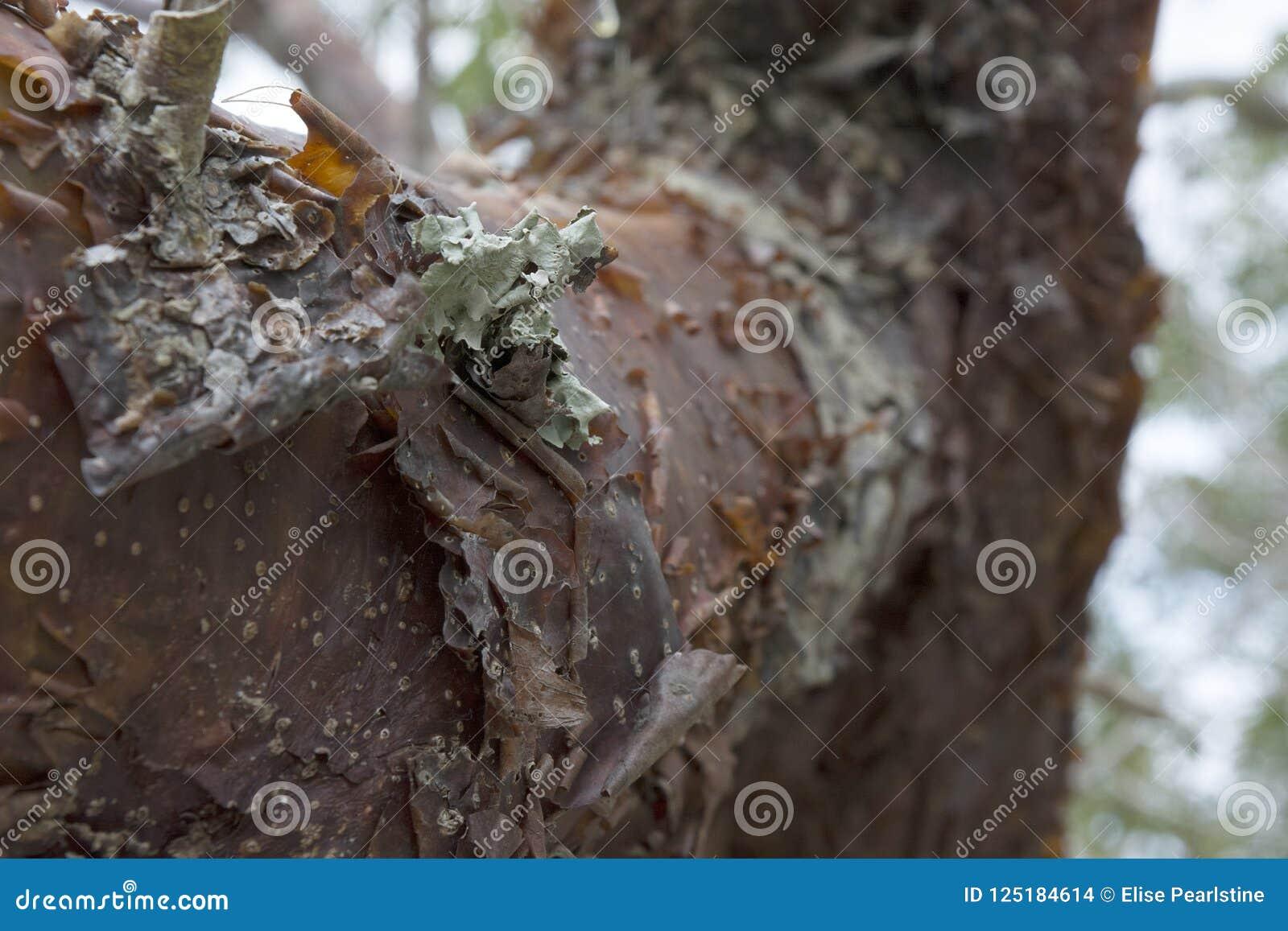 Tronc d un arbre fictif de gombo en Floride tropicale avec l écorce et le Lichen Details d épluchage