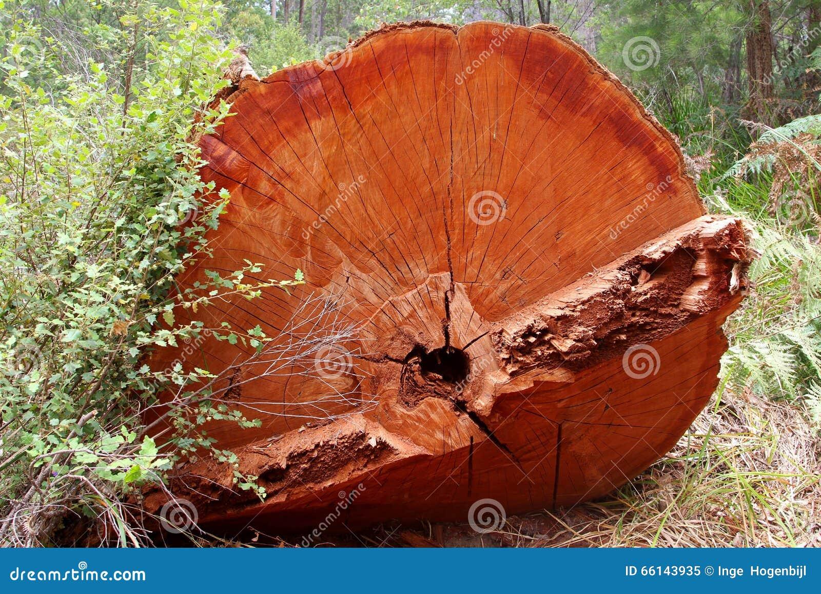 Tronc du tintement rouge géant, Australie occidentale