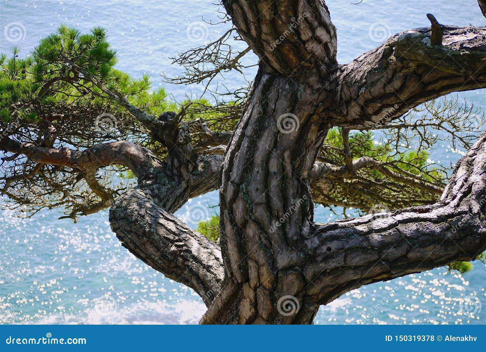 Tronc tordu de pin sur un fond de la mer de turquoise un jour ensoleillé,