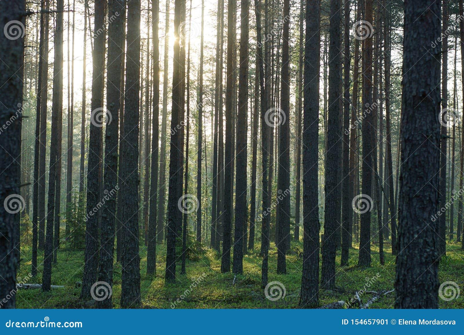 Tronchi alti del pino accesi dal sole di mattina di estate