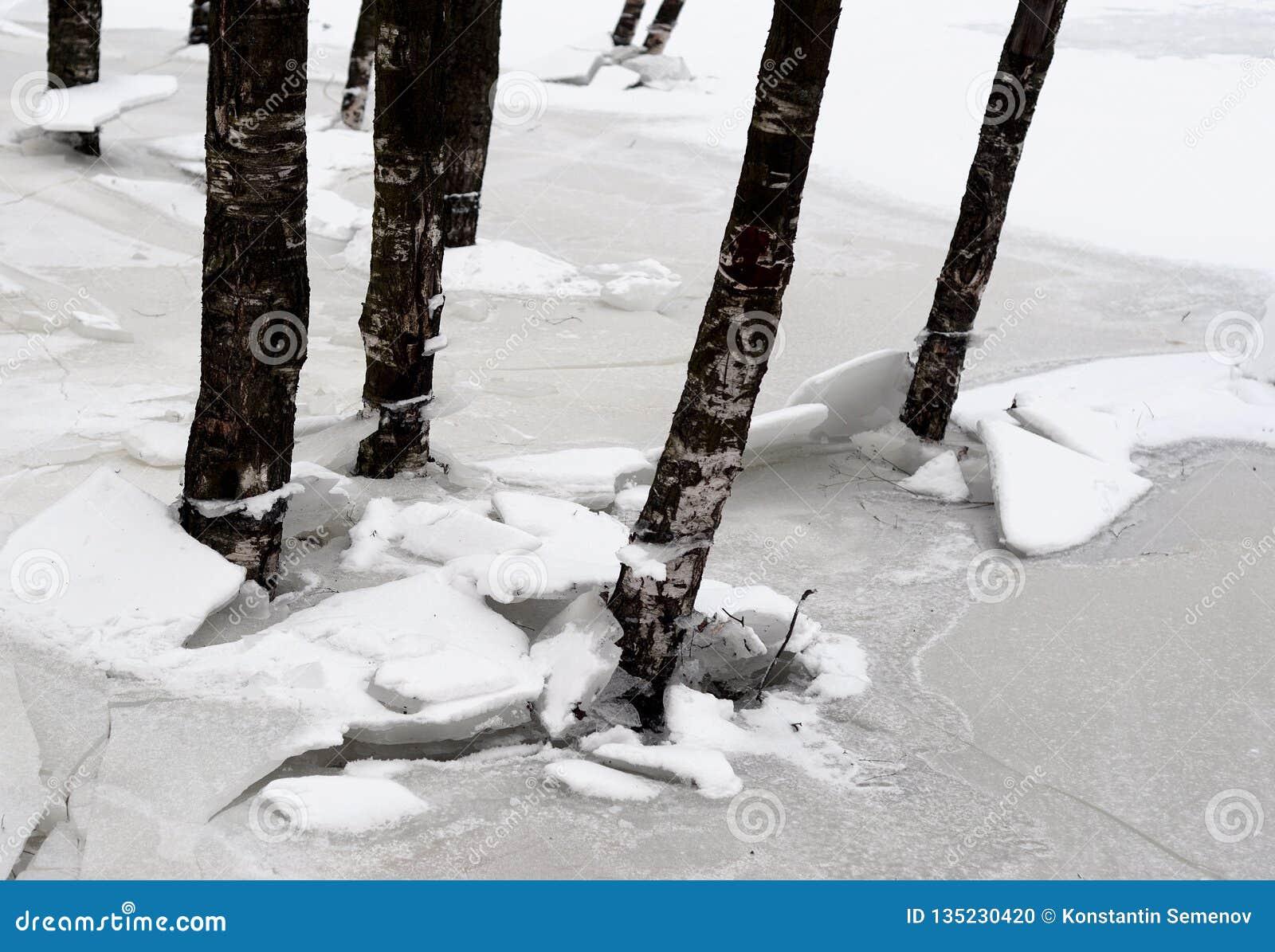 Tronchi degli alberi all inverno