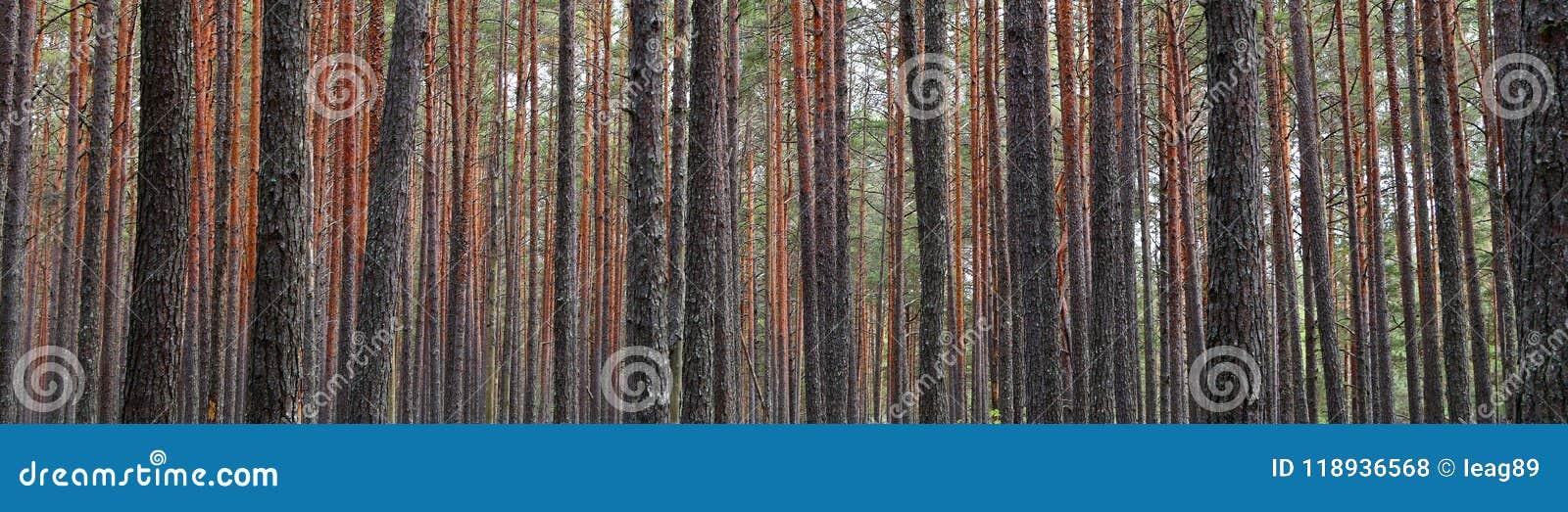 Tronchi dell albero forestale di abetaia