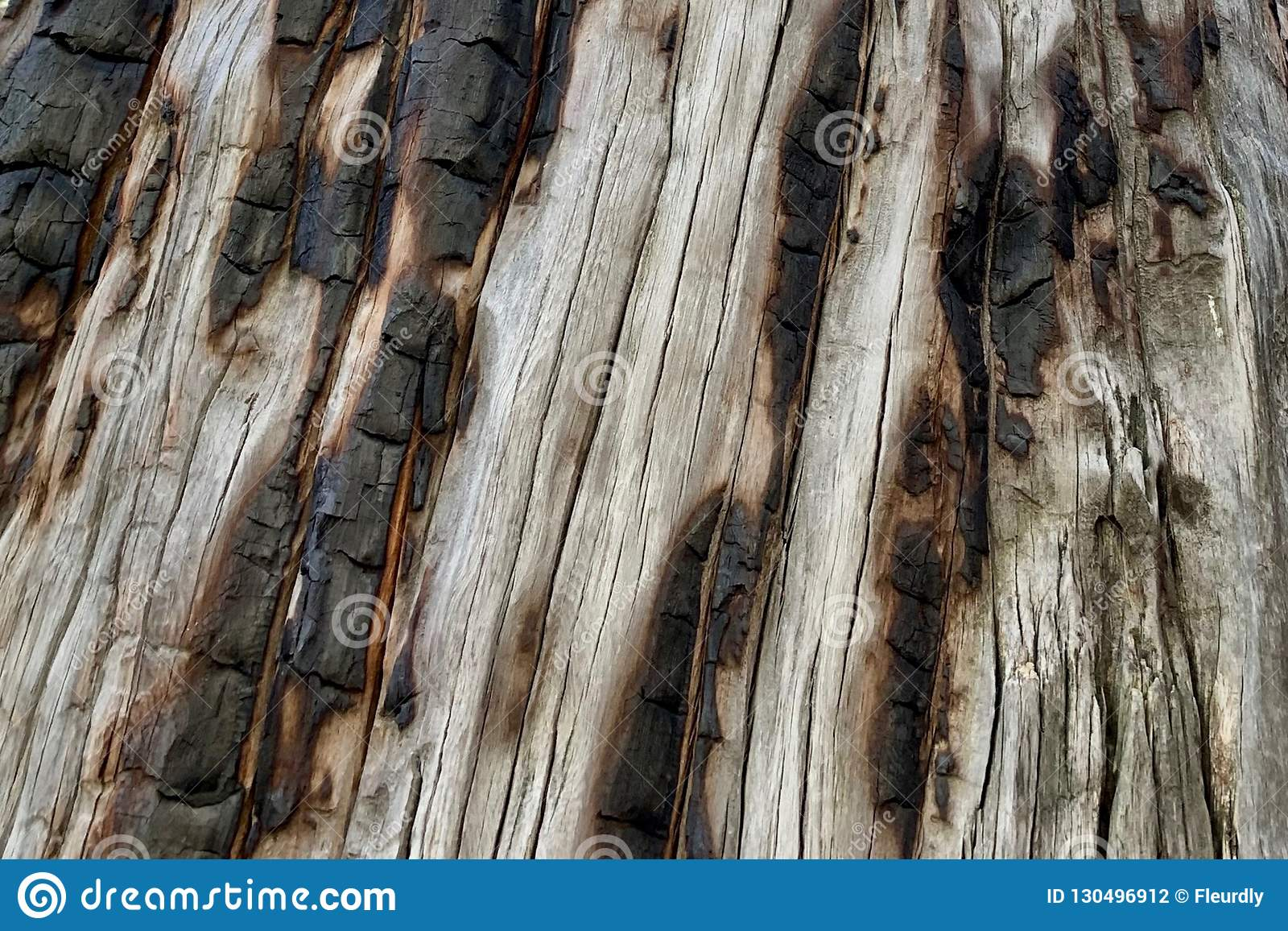 Tronco de árbol chamuscado en el rastro superior del lazo de Bristlecone, Mt Charleston, Nevada
