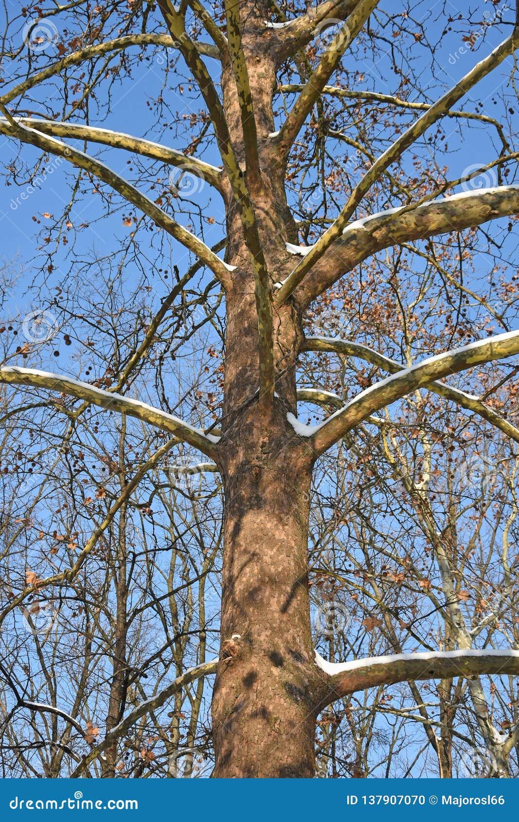 Tronco de árbol grande en invierno