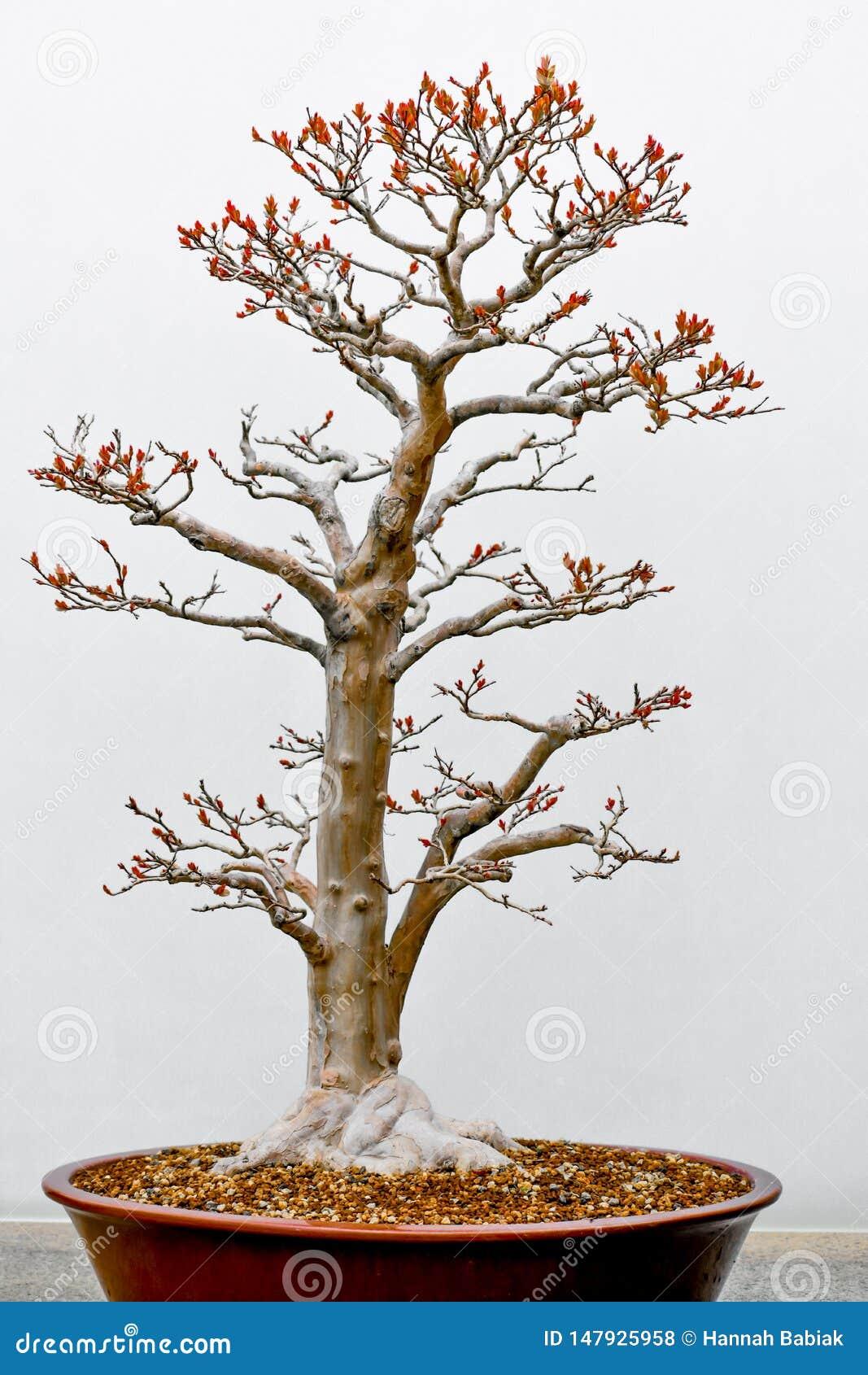 Tronco de la haya blanca del árbol de los bonsais