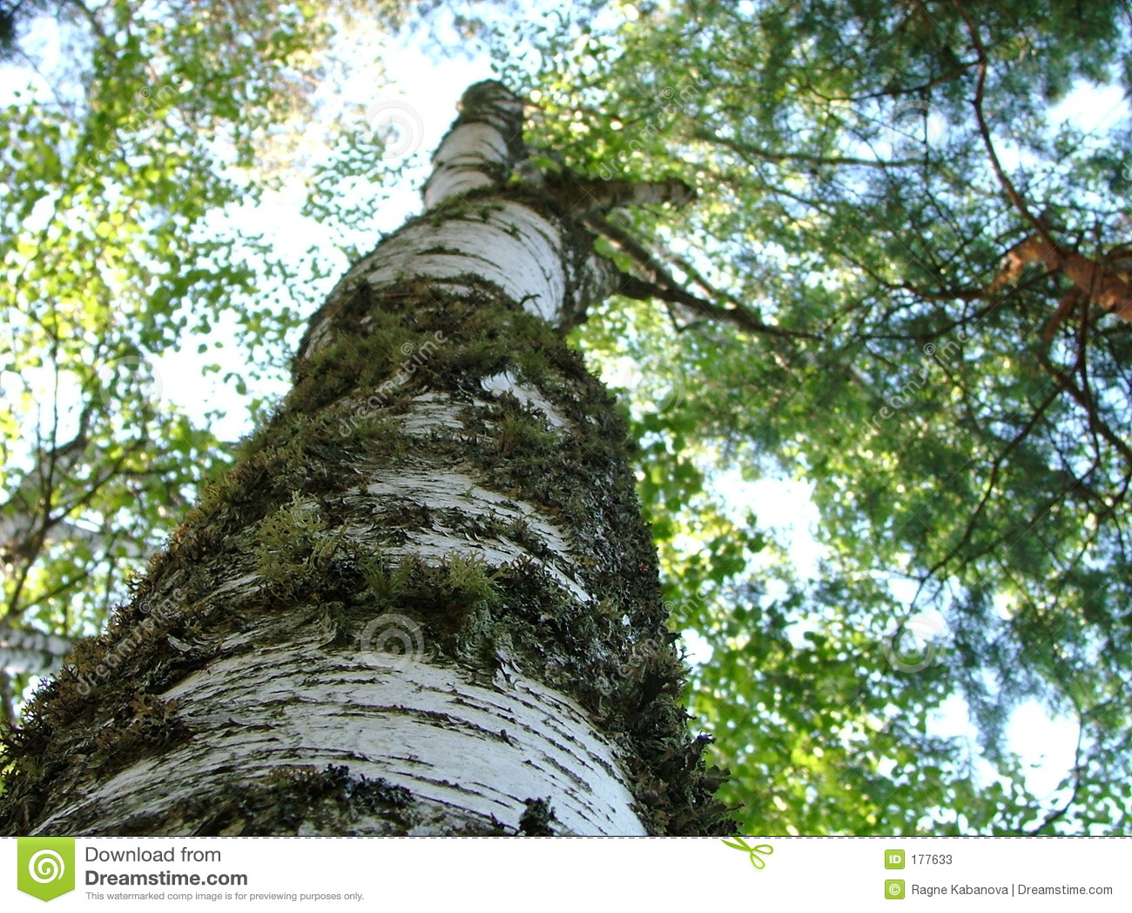 Tronco de un cierre del árbol de abedul para arriba