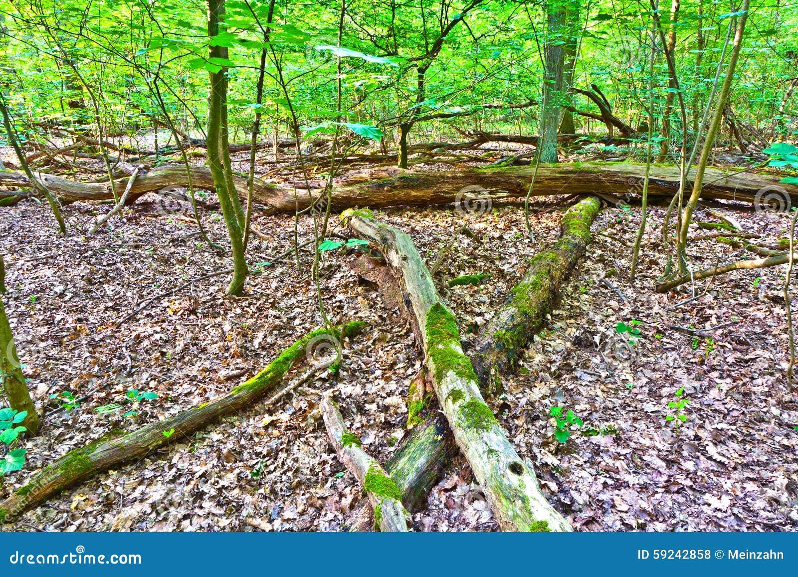 Download Tronco Del árbol En Bosque Del Roble Foto de archivo - Imagen de cubo, ramificaciones: 59242858