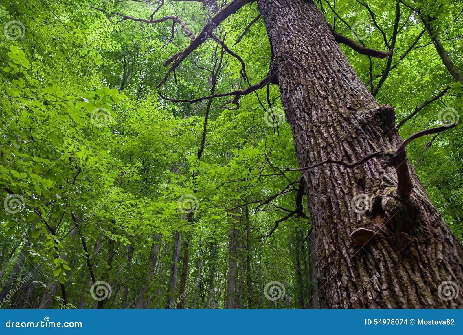 Tronco del roble en un bosque de hojas caducas