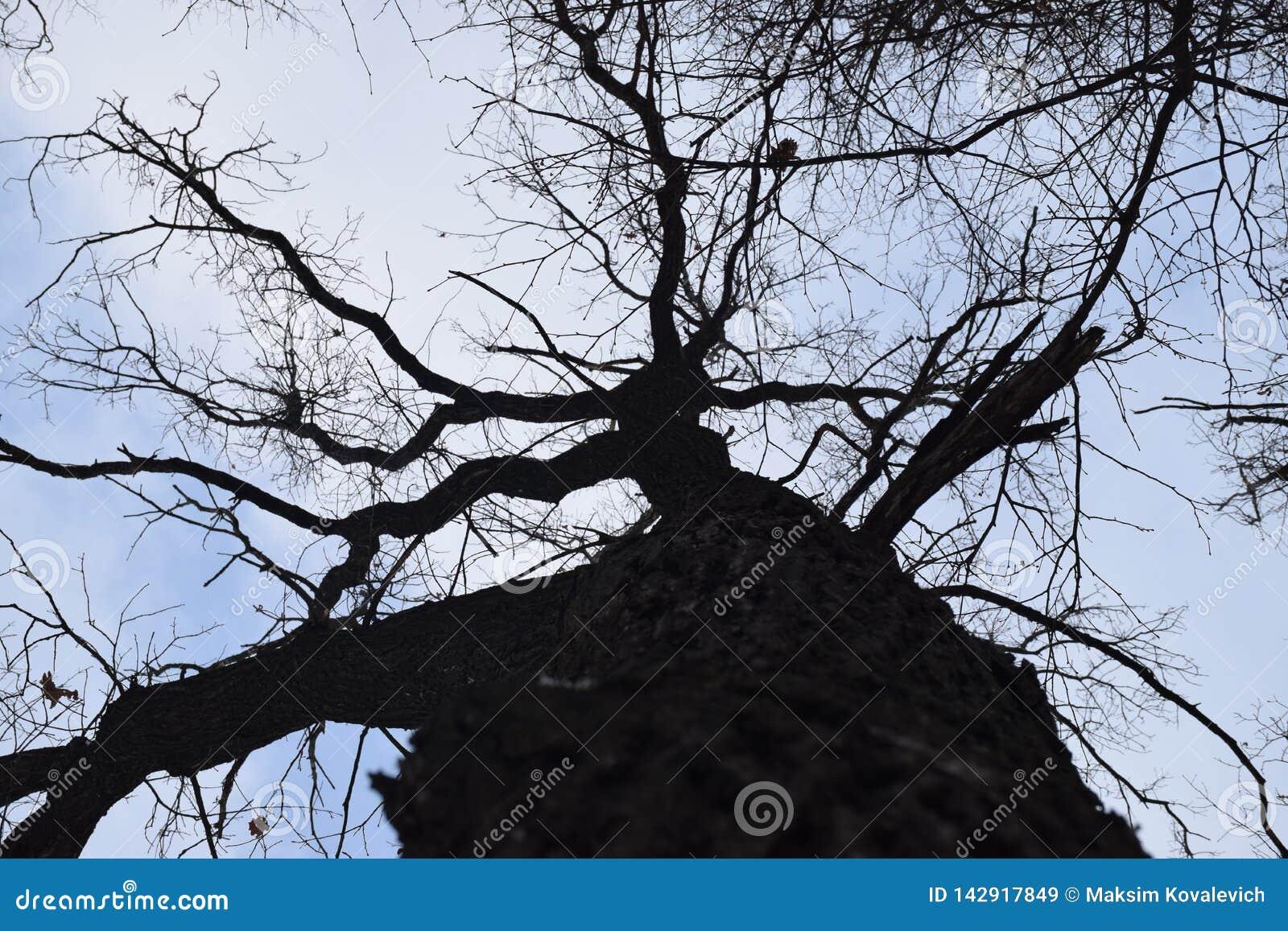 Tronco della quercia che allunga nel cielo