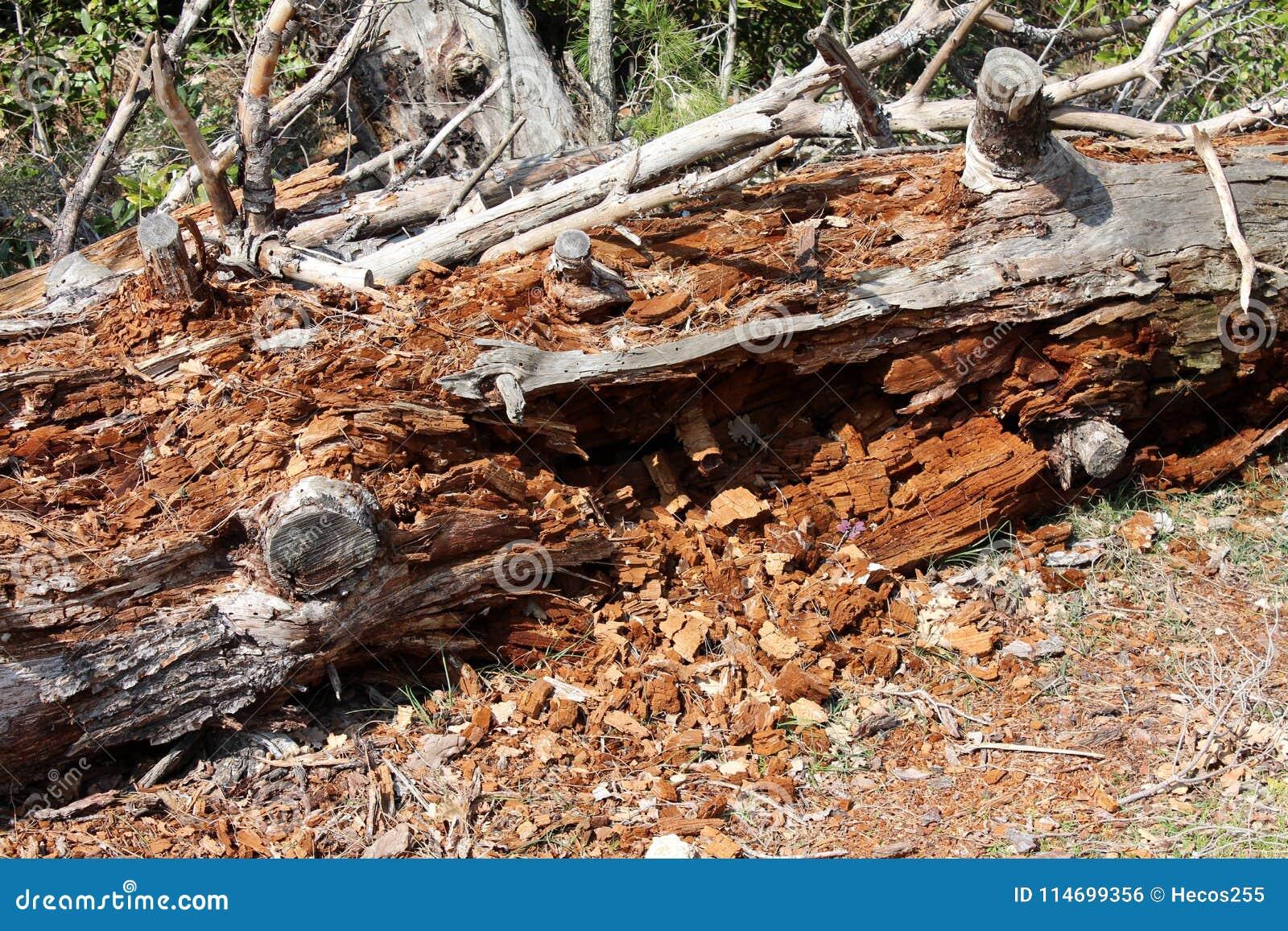 Tronco di albero completamente distrutto dalle termiti