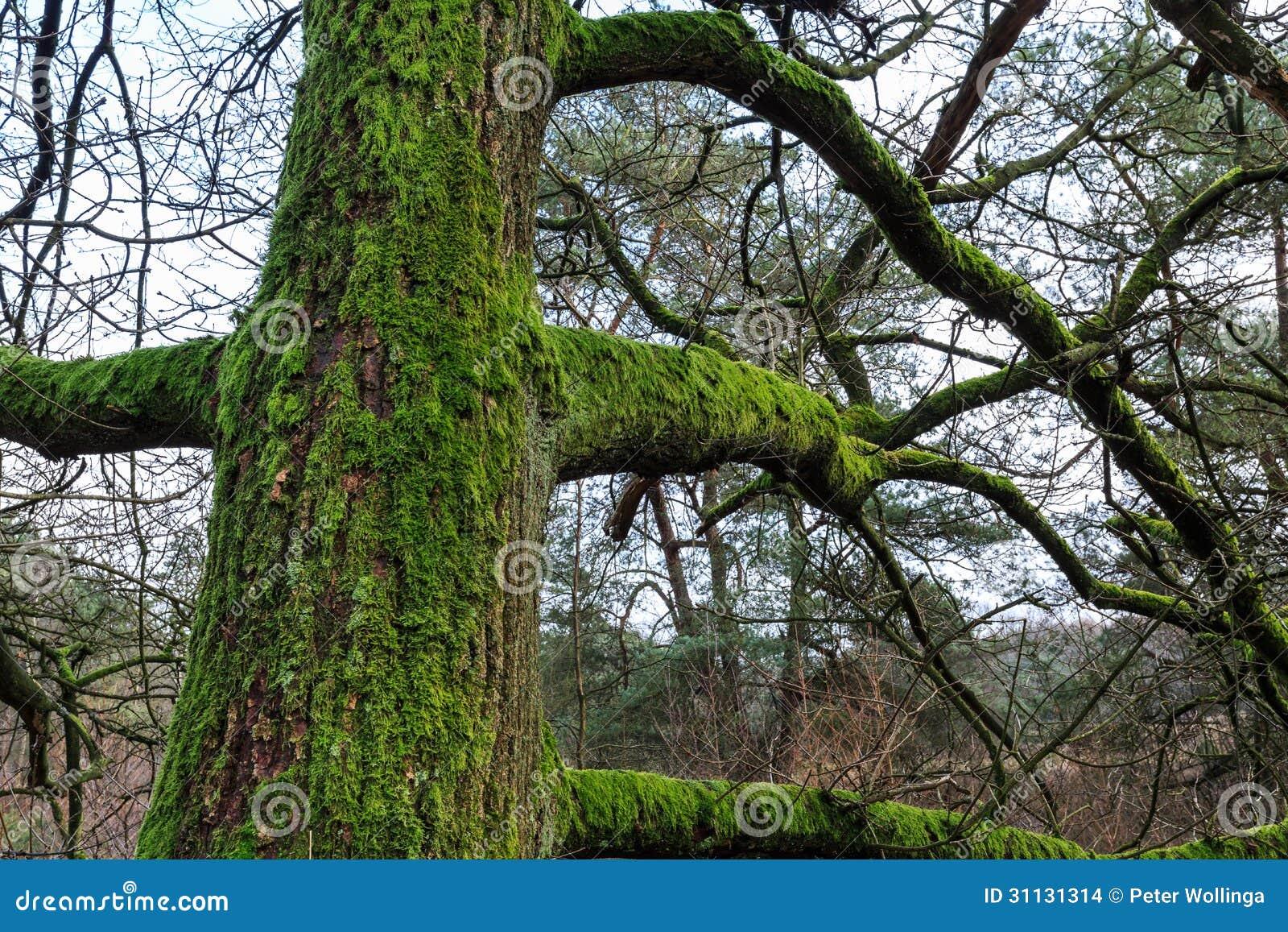 Tronco di albero con muschio in una foresta immagini stock for Tronco albero arredamento