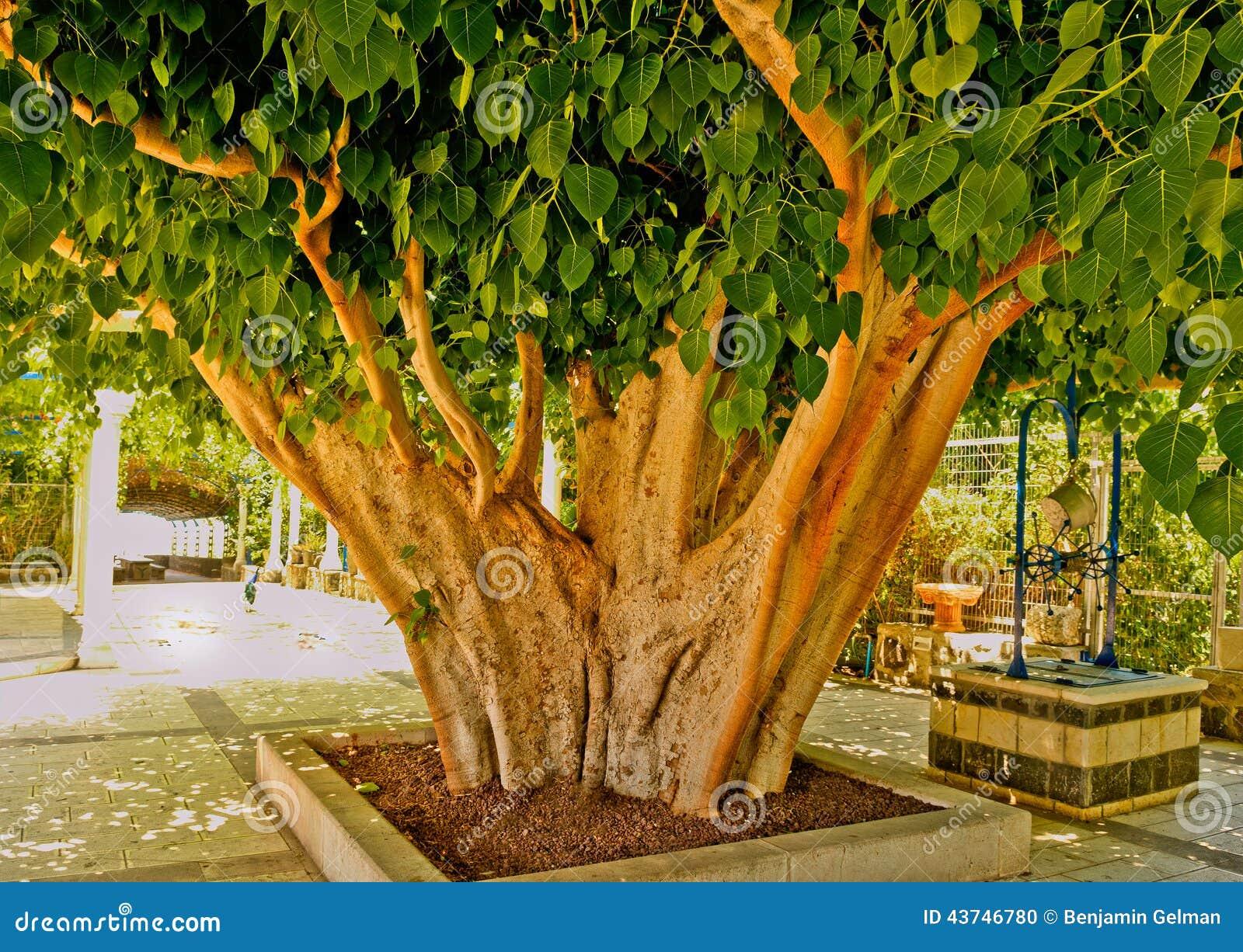 Tronco di albero del kiwi fotografia stock immagine di for Albero di kiwi