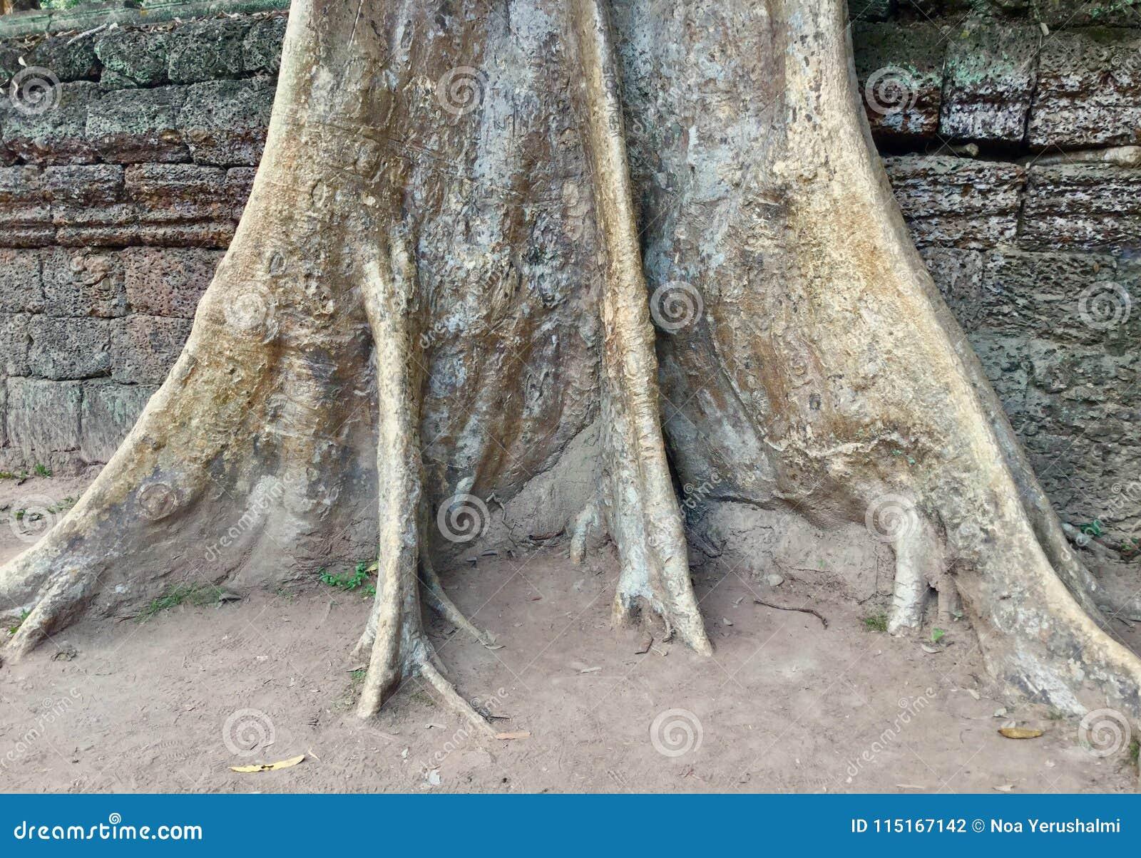 Tronco di albero in tempio di Prohm di tum, Cambogia
