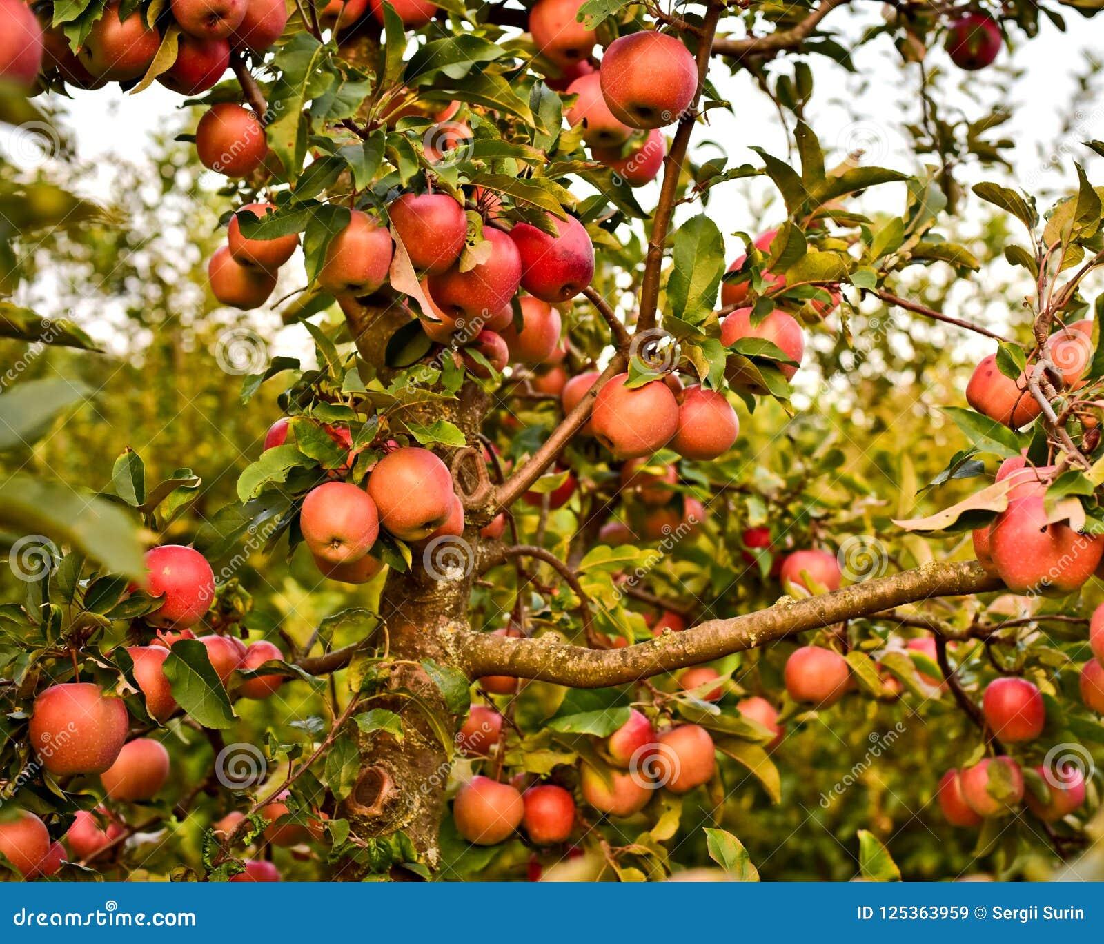 Tronco e rami della mela e di molte mele rosse