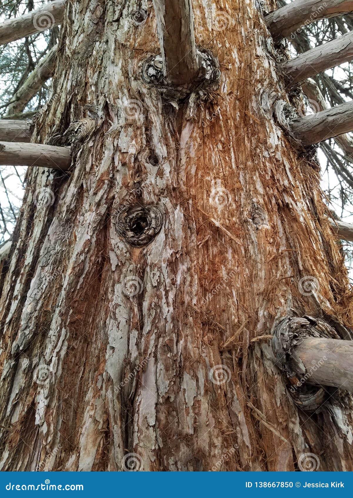 Tronco e ramos velhos de árvore da sequoia vermelha