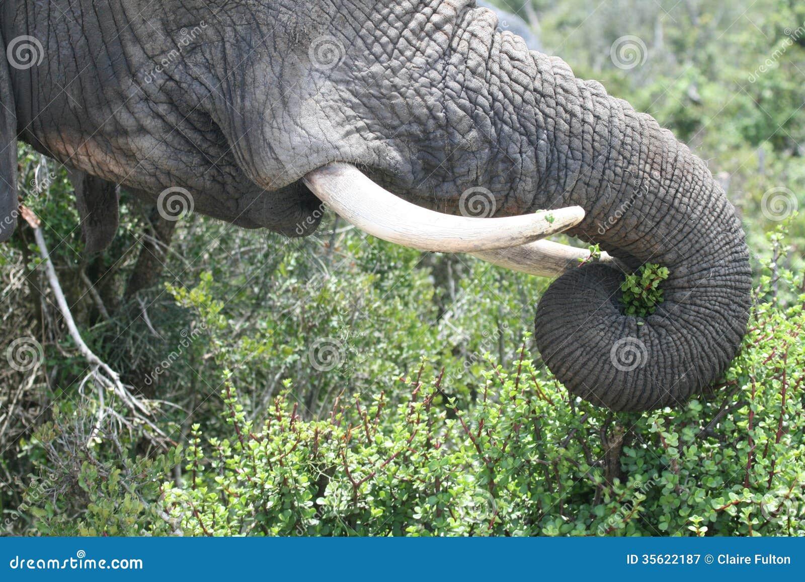 Tronco e zanne dell 39 elefante immagine stock immagine di - Elefante foglio di colore dell elefante ...