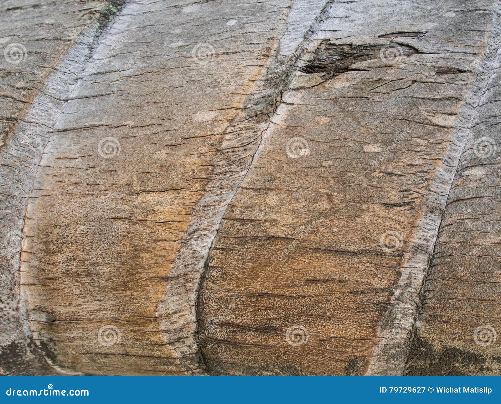 Tronco viejo de la textura del coco