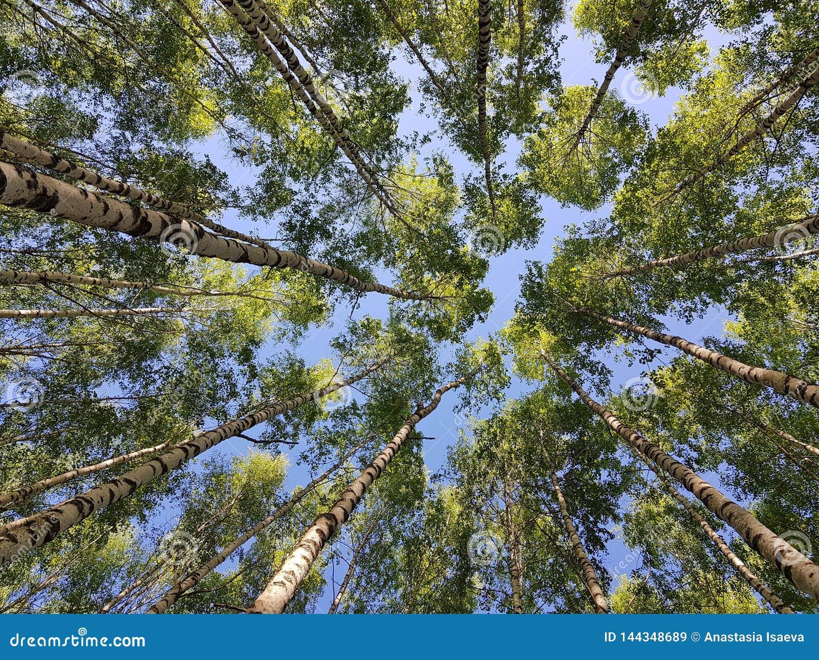 Troncos de árboles de abedul que miran para arriba Hojas verdes del resorte