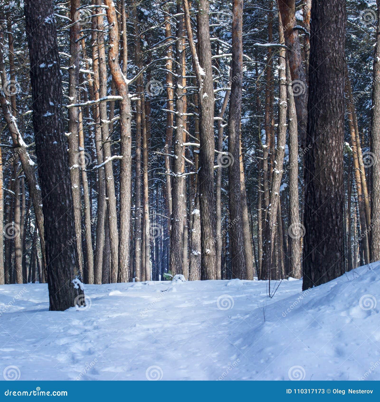 Troncos fantásticos da natureza de pinhos altos em uma floresta do inverno ninguém ao redor