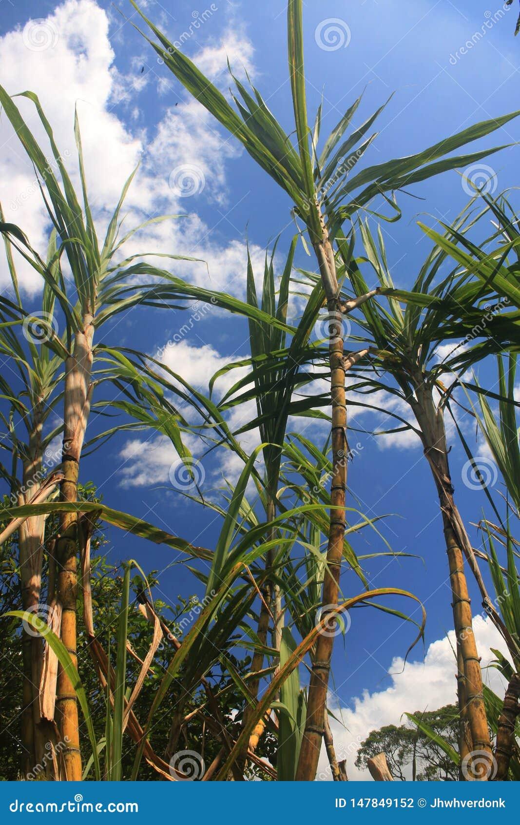 Troncos grandes de la caña de azúcar listos para ser cosechado contra un cielo azul con algunas nubes