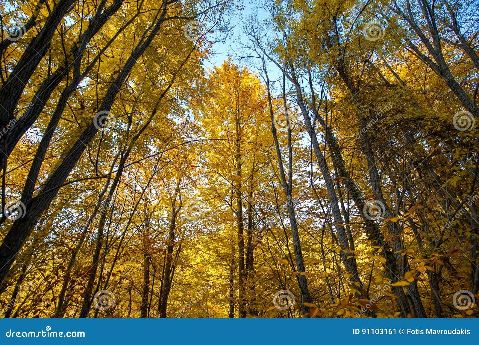 Troncs d arbre d automne