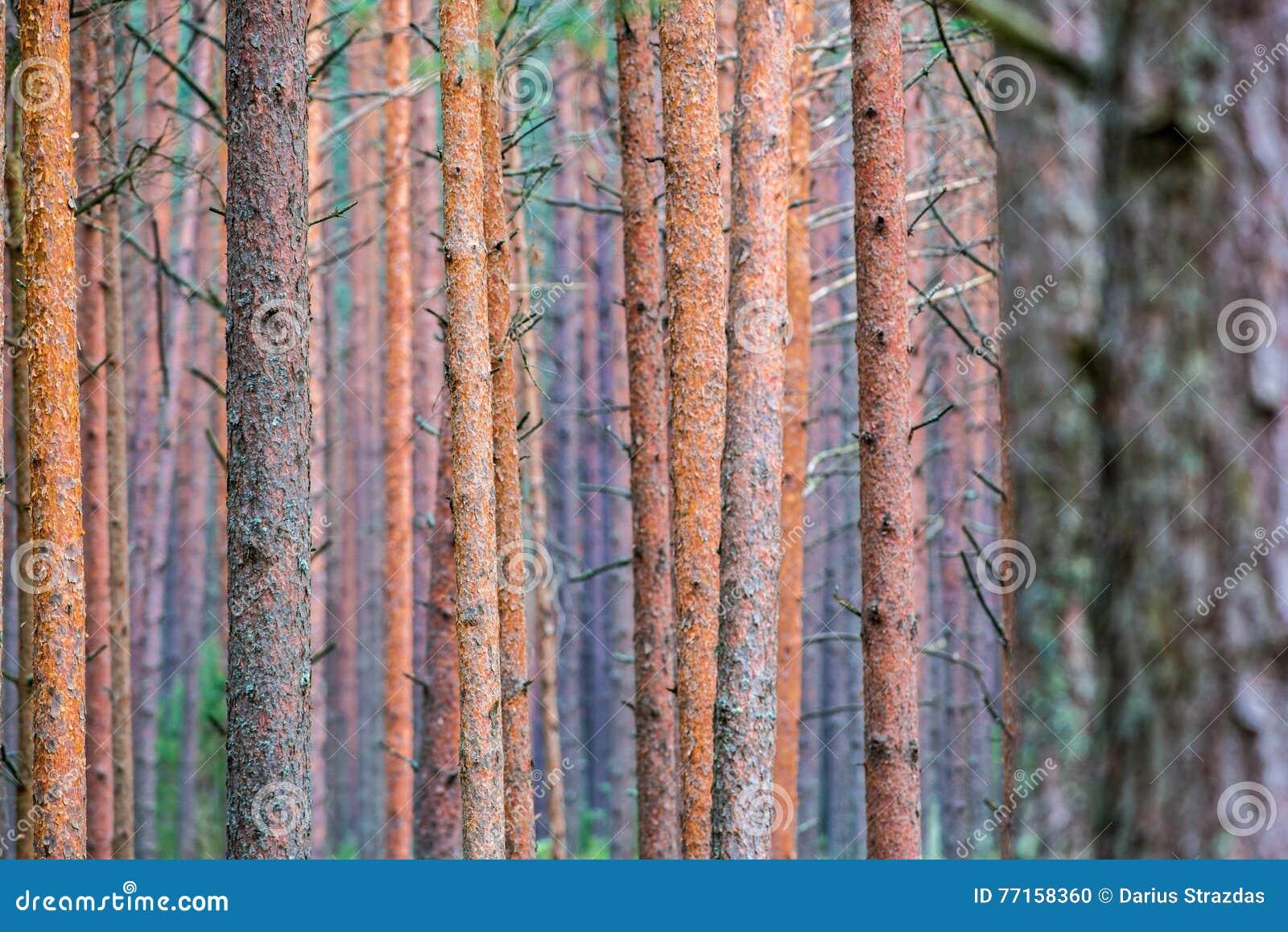 Troncs de pin en gros plan