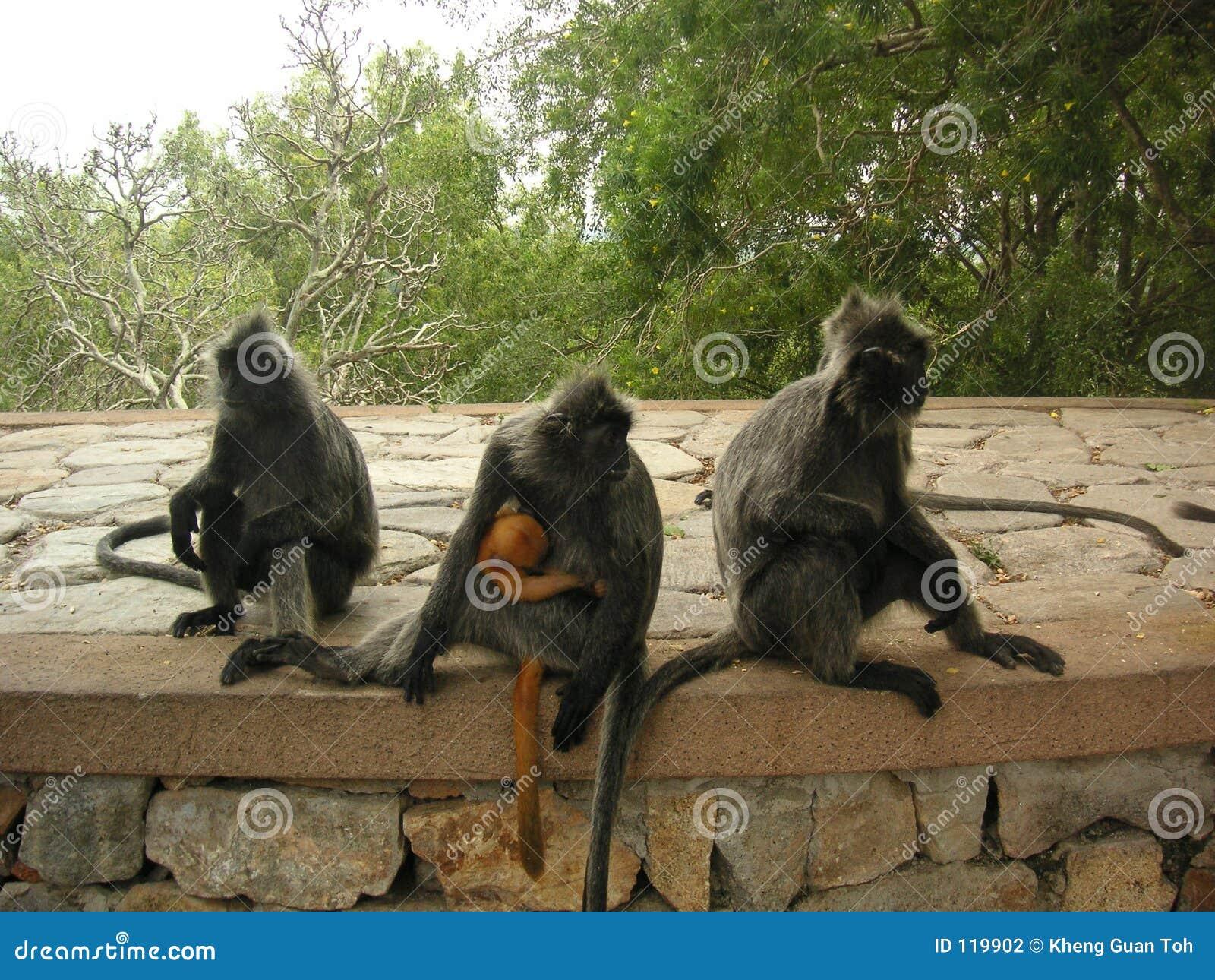 Troop of monkies