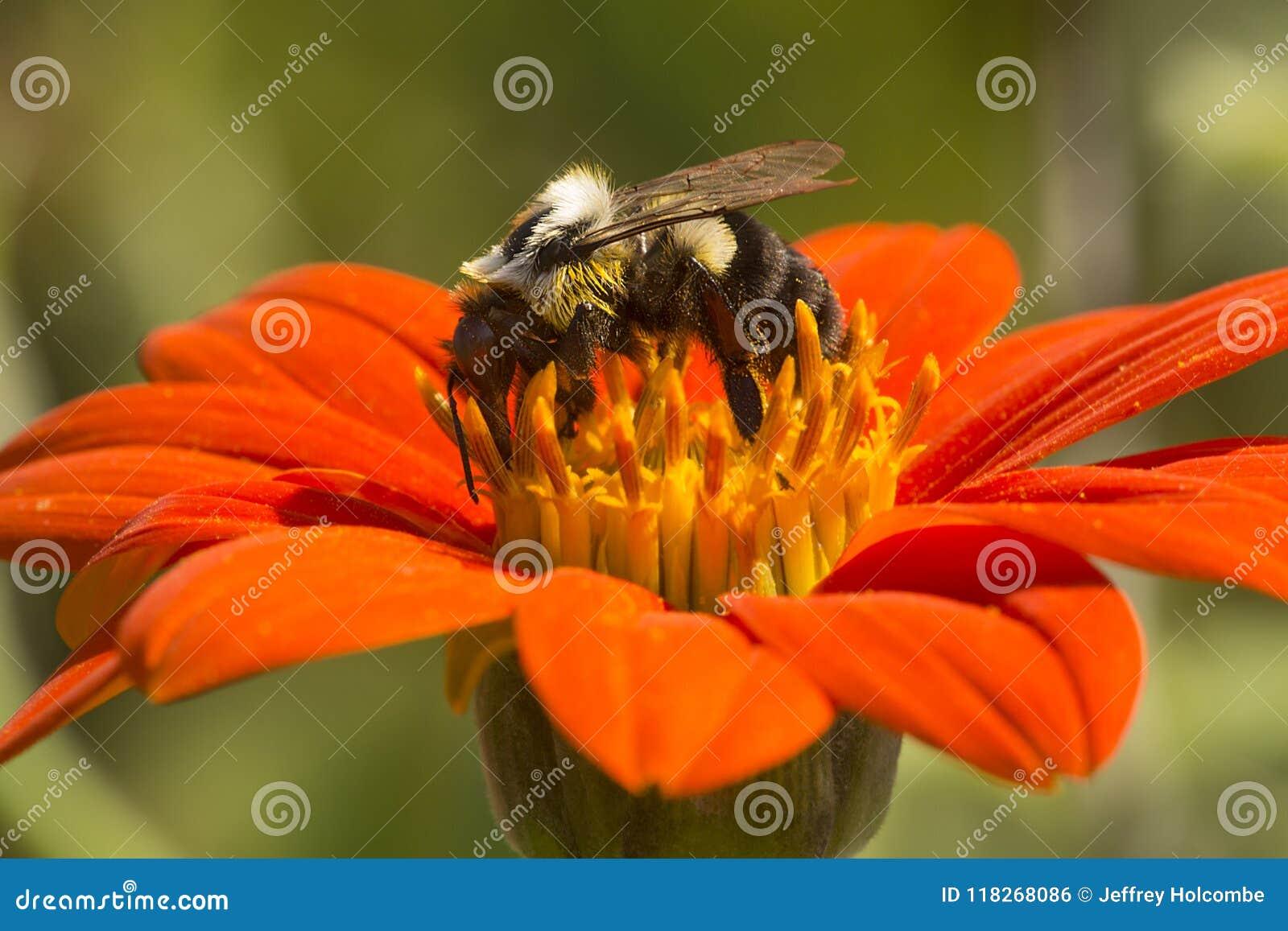 Tropeçar a abelha que forrageia em uma flor vermelha brilhante da dália