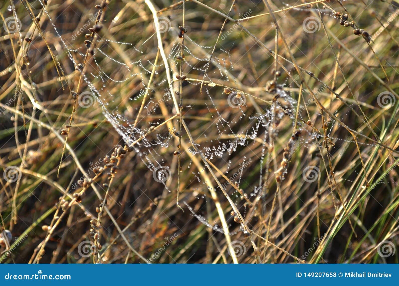 Tropfen des Morgentaus auf einem Netz unter trockenem gelbem Gras