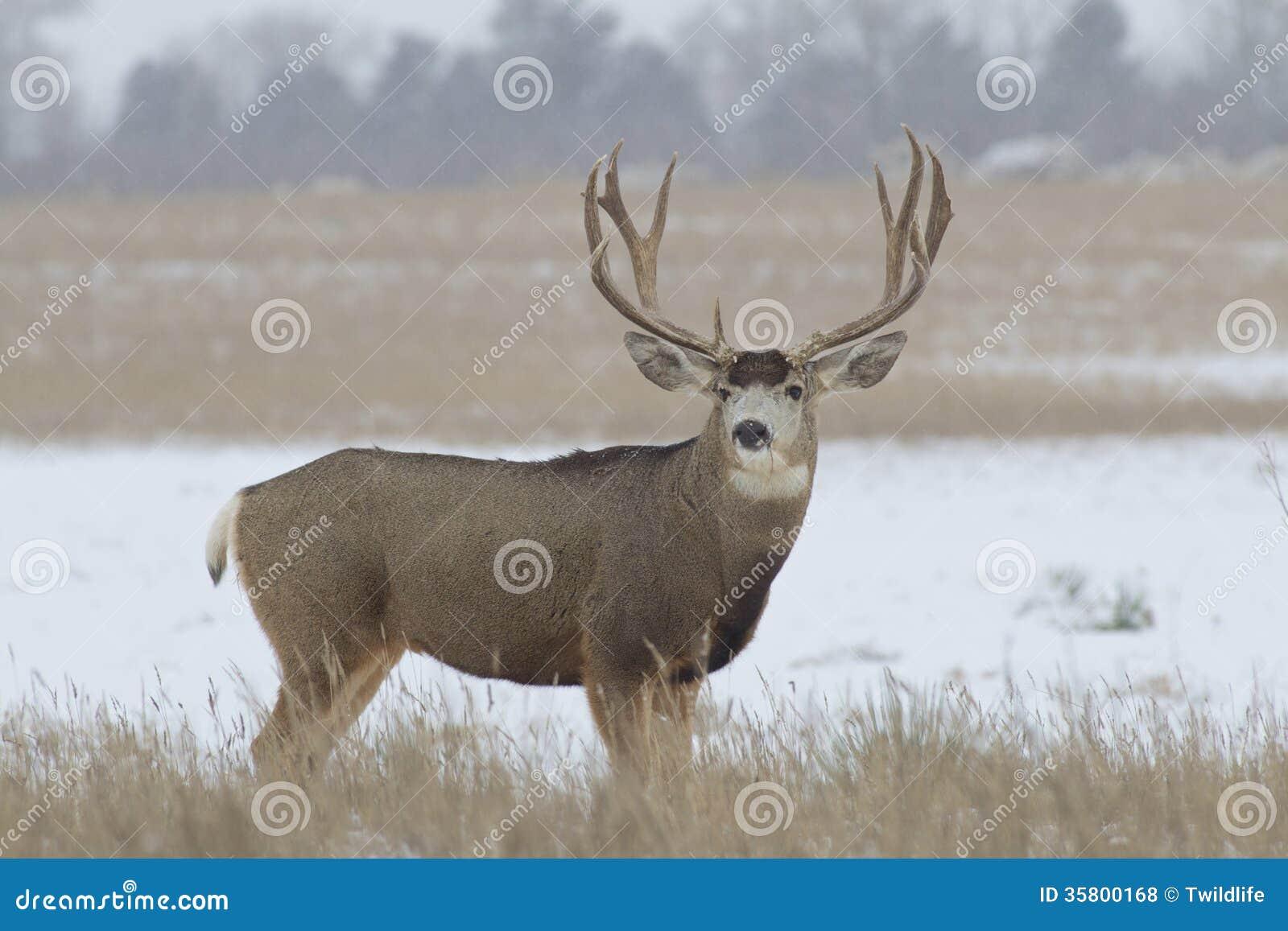 Trophy Mule Deer Buck Broadside Stock Photo - Image of ... Trophy Mule Deer Buck