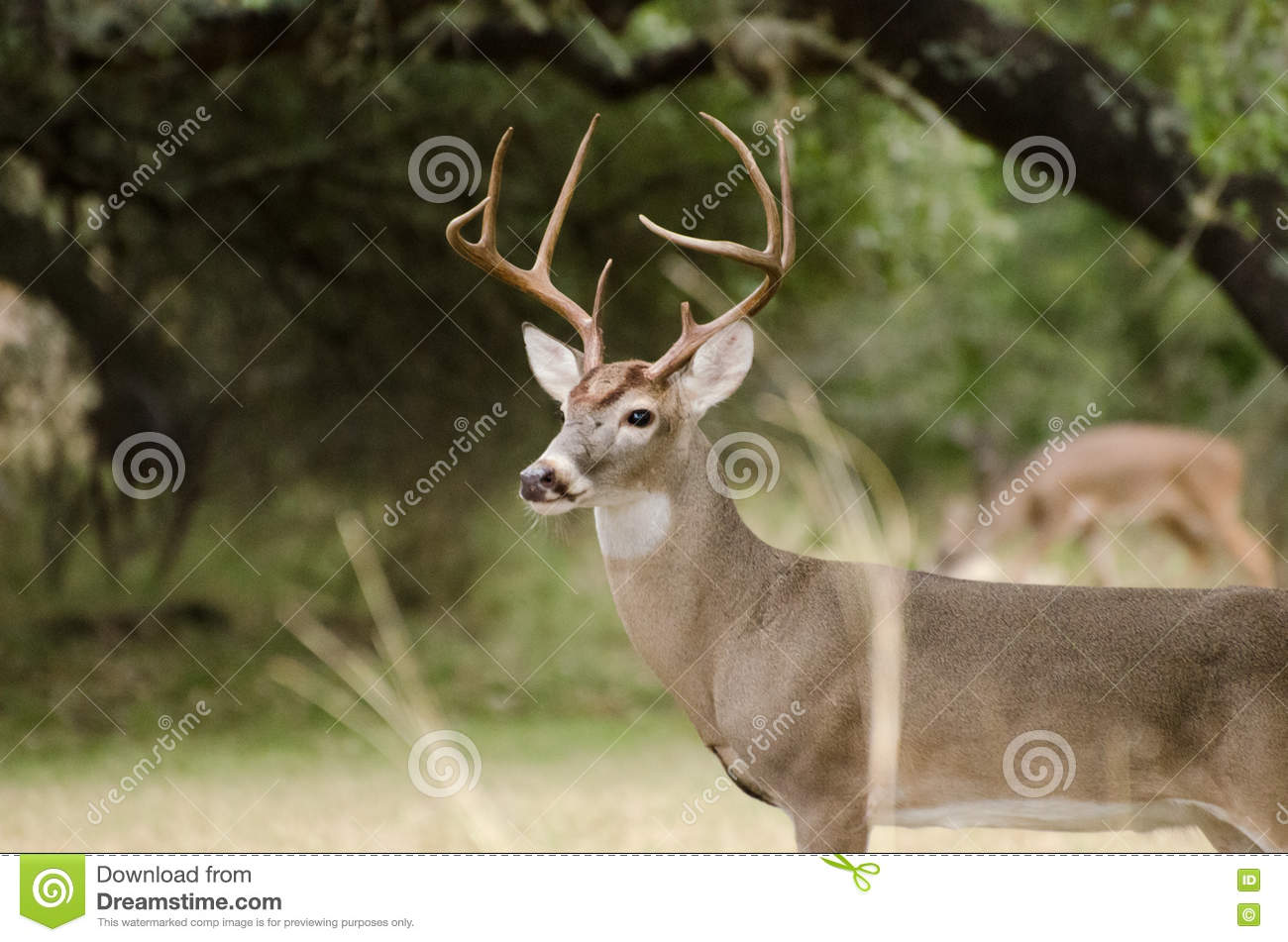 Trophy Whitetailed Deer Buck with Antlers, Driftwood Texas