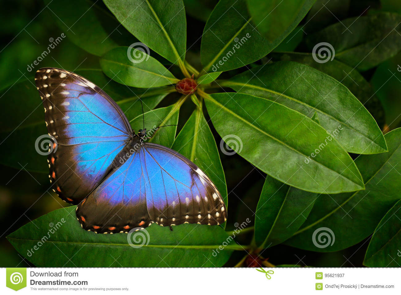 Tropic nature in Costa Rica. Blue butterfly, Morpho peleides, sitting on green leaves. Big butterfly in forest. Dark green vegetat