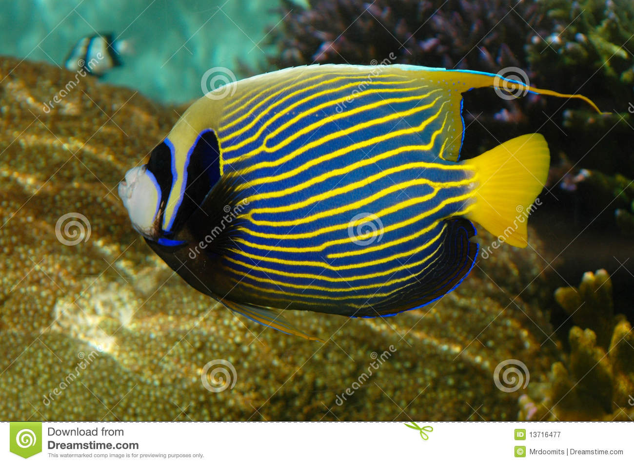 Tropical Angel Fish With Stripes Royalty Free Stock