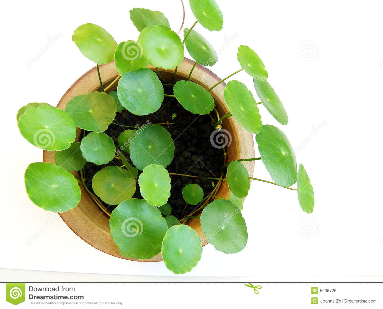 Tropical Aquatic Plant In Pot Royalty Free Stock Image