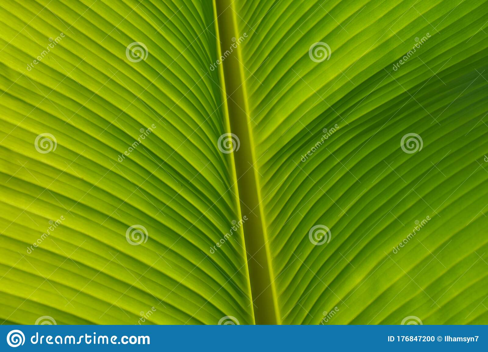 Tropical Banana Leaf Texture Large Palm Foliage Natural Fresh Green Background Stock Photo Image Of Detail Large 176847200 About 23% of these are artificial plant. tropical banana leaf texture large palm foliage natural fresh green background stock photo image of detail large 176847200