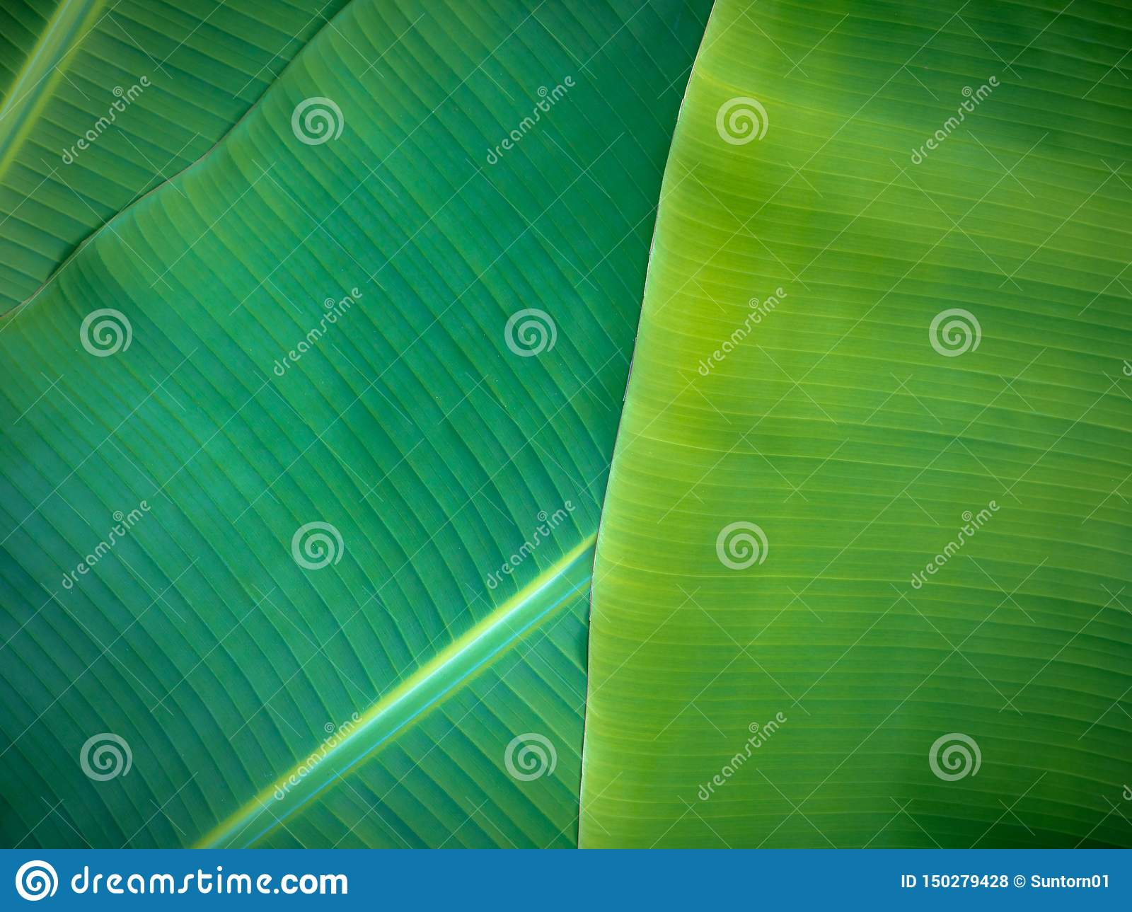 Tropical Banana Leaves Natural Green Background Natural Banana Leaves Can Be Used In Many Ways In Everyday Life Stock Photo Image Of Banana Healthy 150279428 Take a close look at the stylish with amazing designs. dreamstime com