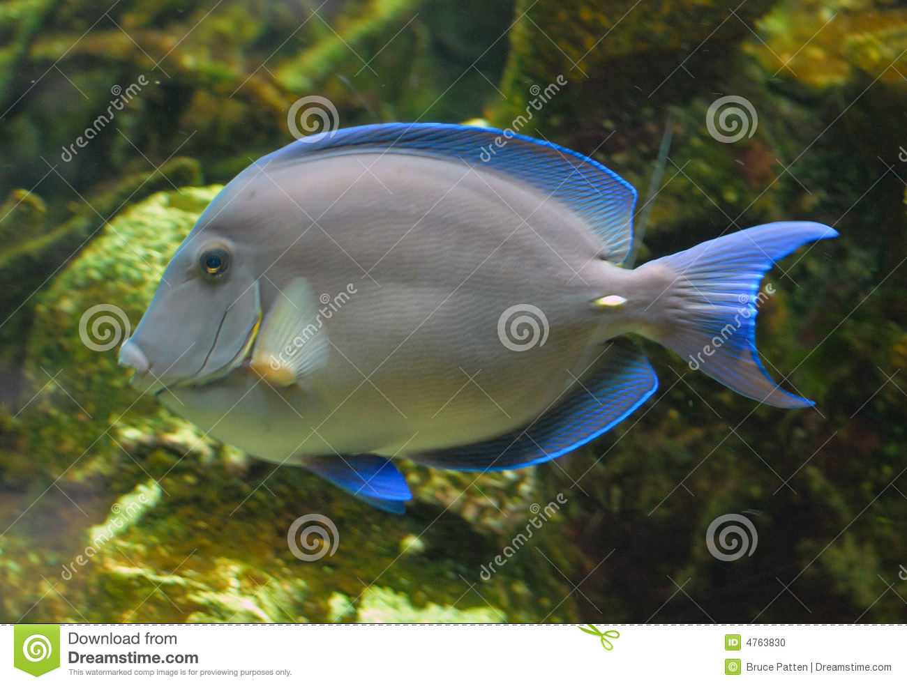 Tropical blue fish stock photo image of blue reef for Blue saltwater fish