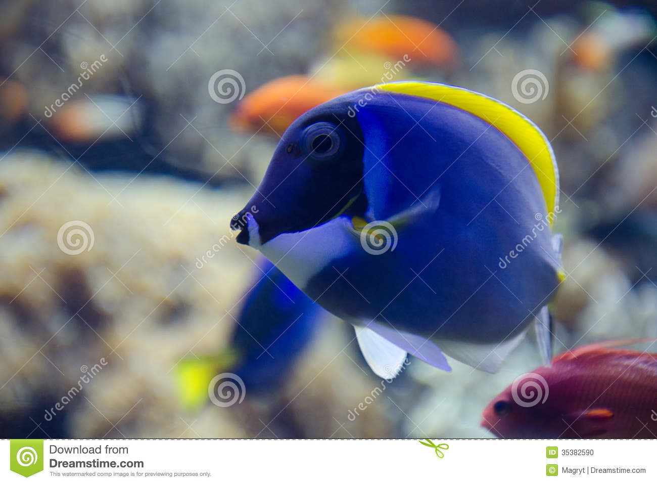 Tropical blue tang fish swims near coral reef stock photo for Blue tang fish price