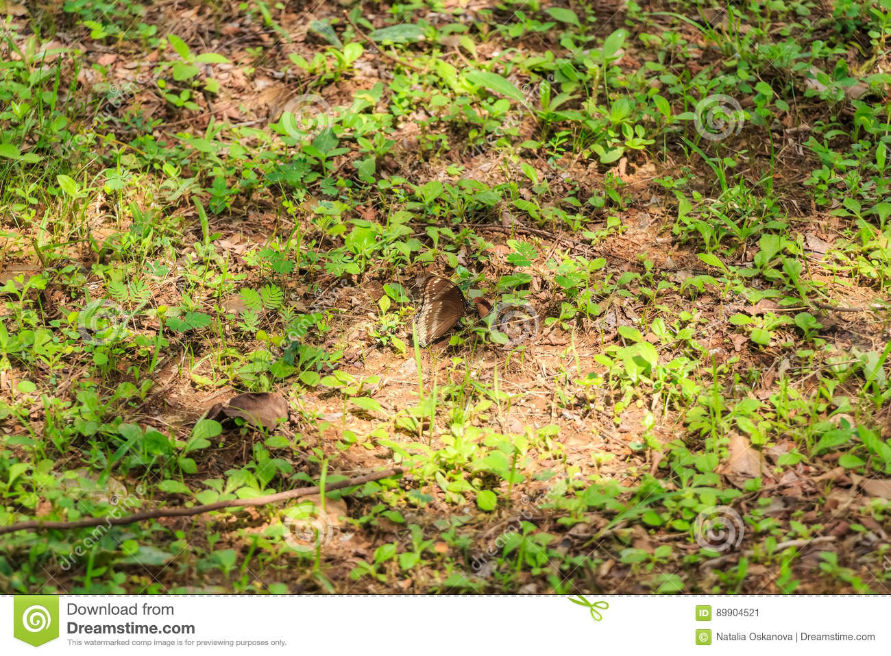 Tropical brown butterfly hides in grass