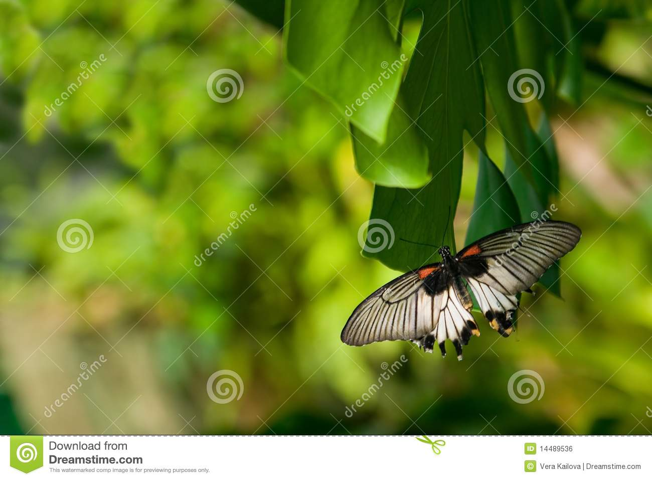 The Tropical Butterfly Royalty Free Stock Image - Image: 14489536