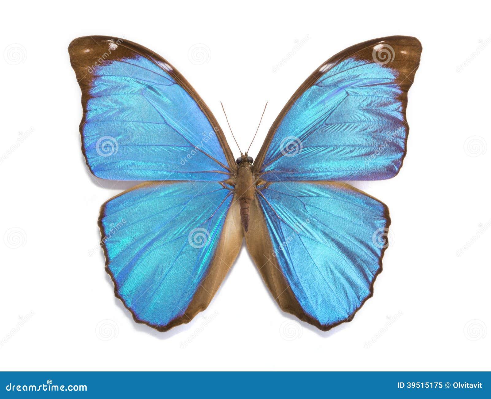 Tropical butterfly Morpho menelaus