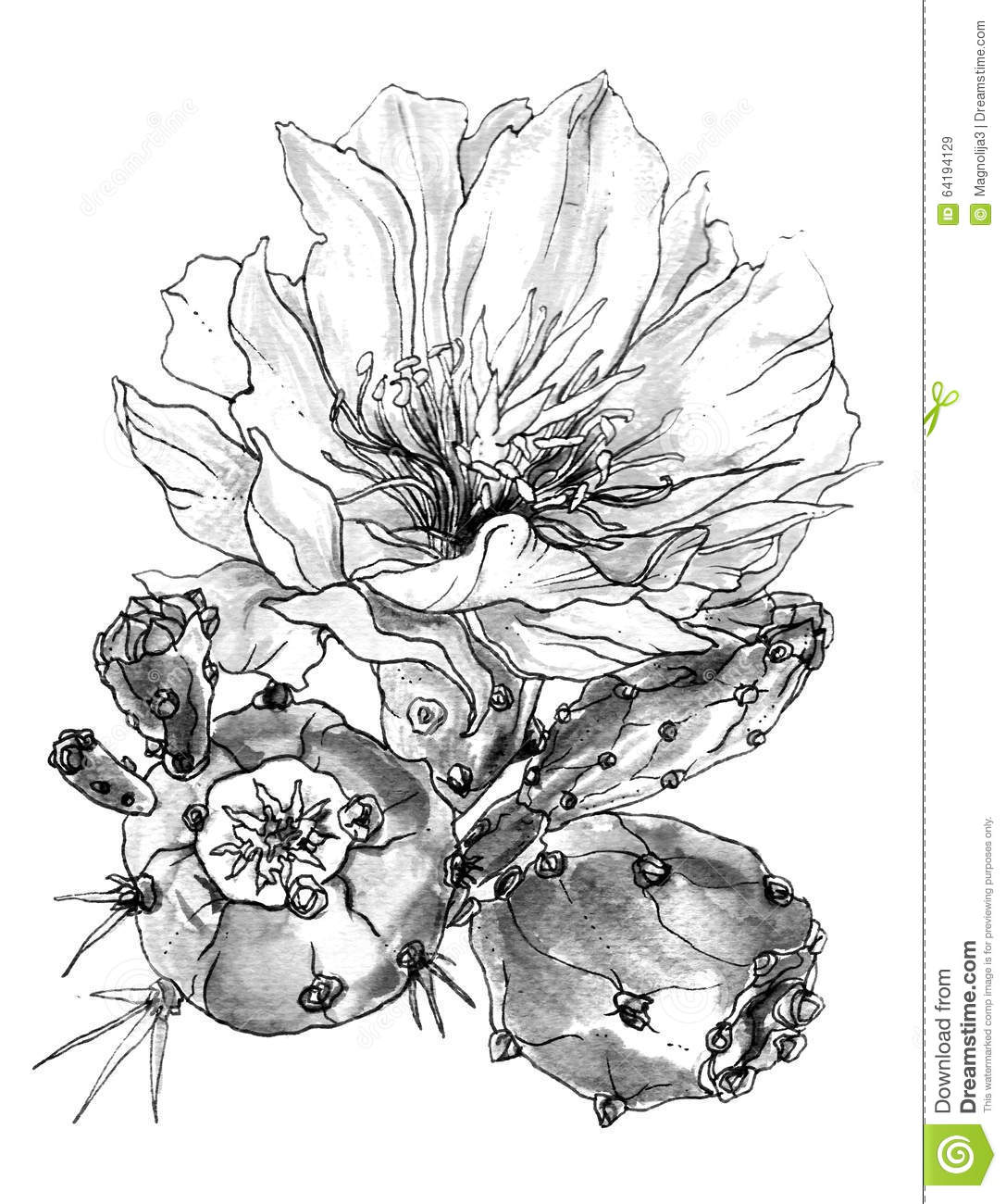 Cactus Flower Line Drawing : Tropical cactus flower in blossom watercolor black and