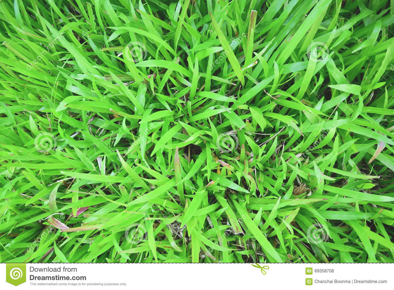 tropical carpet grass stock photo  image of leaf  green