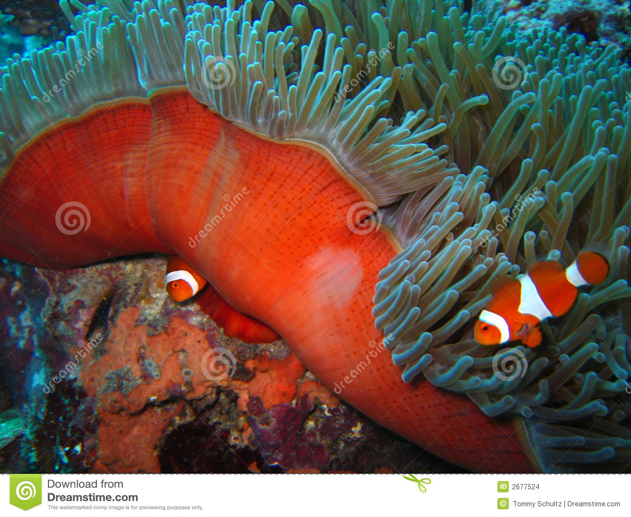 Tropical clown fish stock photo image of ecotourism for Closest fish store