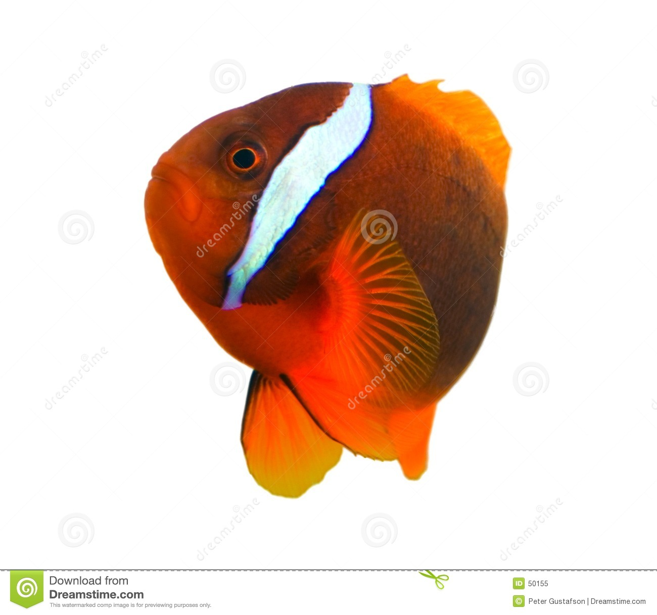 Tropical clown fish royalty free stock photo image 50155 for Closest fish store